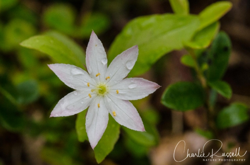 Arctic starflower