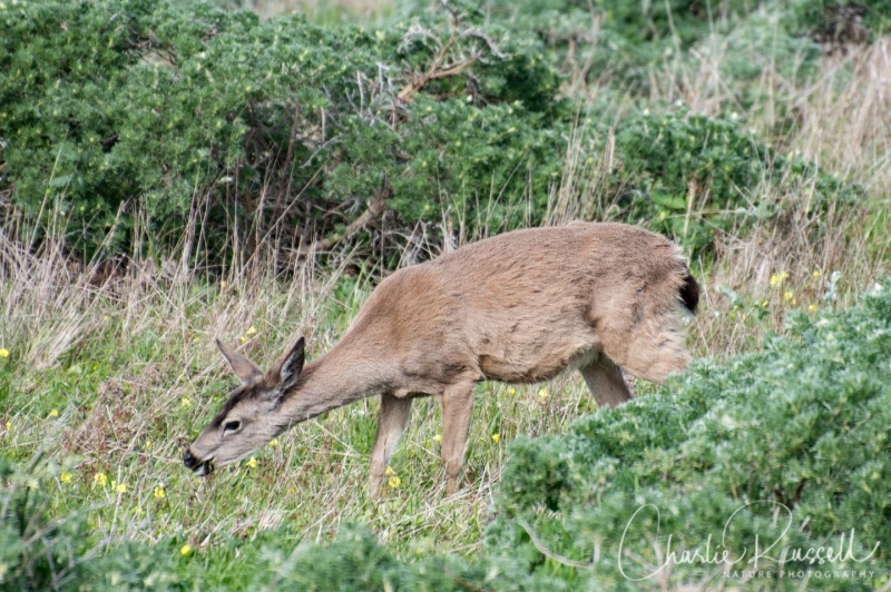 Black tailed deer at Pt Reyes, near the lighthouse