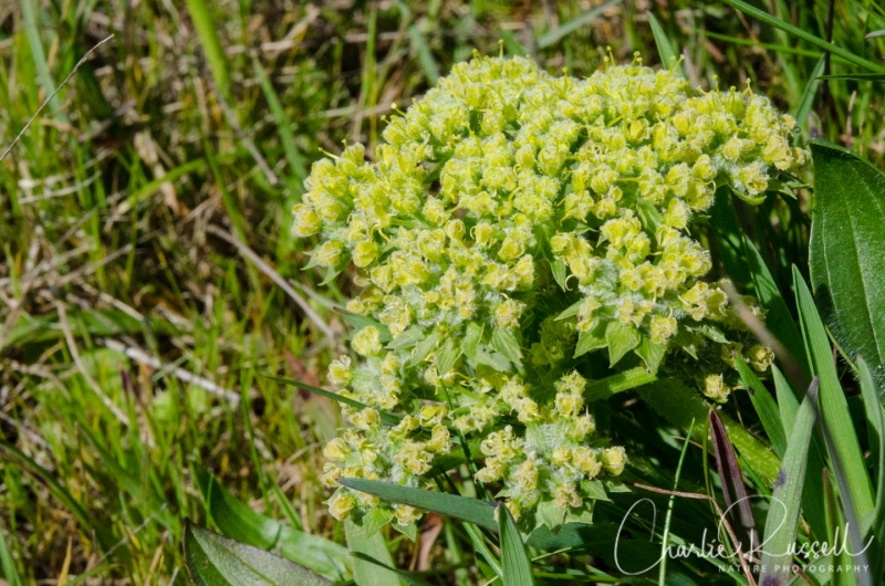 Woolly fruited lomatium