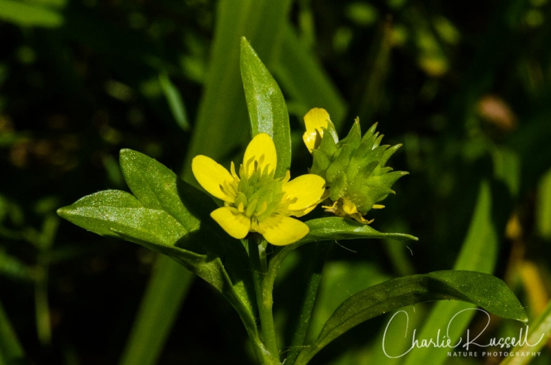 Spiny buttercup