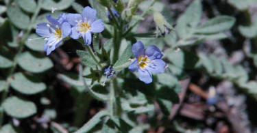 Polemonium occidentale