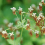 Fendler's meadow rue