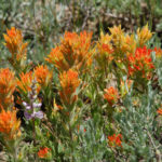 Brewer's Indian Paintbrush