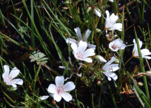 Limnanthes douglasii ssp rosea