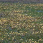 Goldfields and Yellow Carpet
