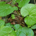 Asarum lemmonii