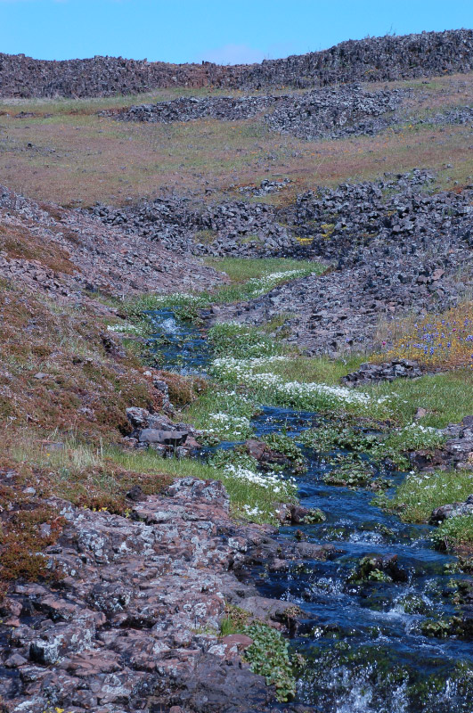 Table Mountain stream with Table Mountain Meadowfoam