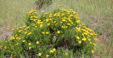 Narowleaf Goldenbush