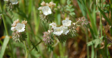 Common Phacelia (?)