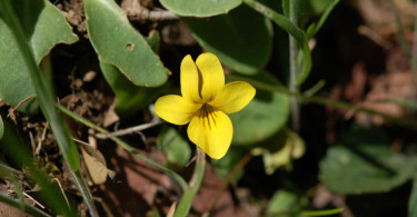 California Golden Violet