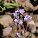 Brewer's Phacelia
