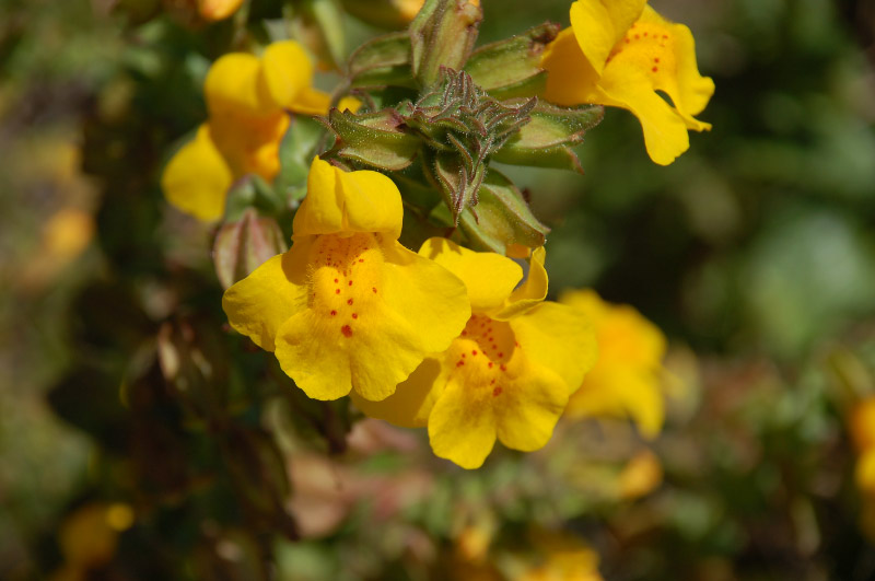 Yellow Monkey Flower