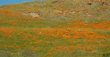Hillside of California Poppy