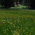 Mostly California Buttercup