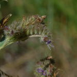 Low Phacelia