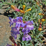 Azure Penstemon