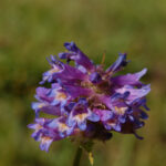 Meadow Penstemon