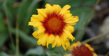 Indian Blanket Flower