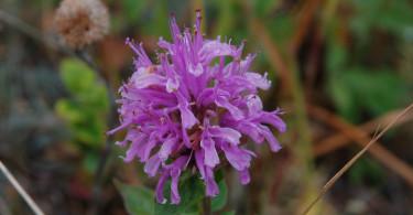 Wild Bergamot or Beebalm
