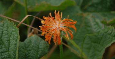 Orange Mountain Dandelion