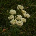 Cushion Buckwheat