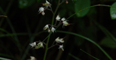 Threeleaf Foamflower