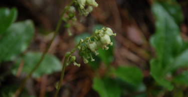 One Sided Wintergreen