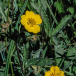 Cinquefoil (not sure species)