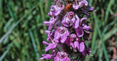 Pedicularis attollens