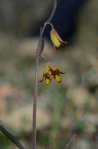 Butte County Fritillary