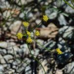 Lomatium marginatum var marginatum
