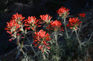Wholly Indian Paintbrush (?)