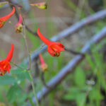 Canyon Larkspur,