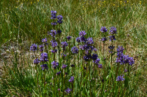 Meadow Penstemon