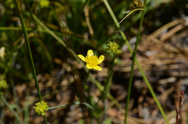 Western Buttercup (probably)