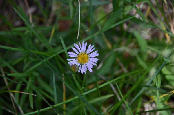 Unknown Aster