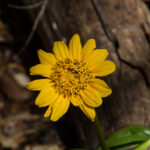 Wyethia sp.