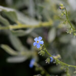 Hackelia sp.