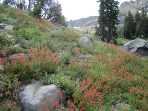 Paintbrush garden on the Woods Lake trail to Winnemucca
