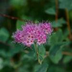Spiraea densiflora