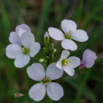 Cardamine californica