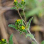 Opposite leaved tarweed, Hemizonella minima