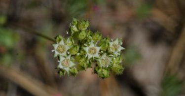 Three toothed horkelia, Horkelia tridentata var. flavescens