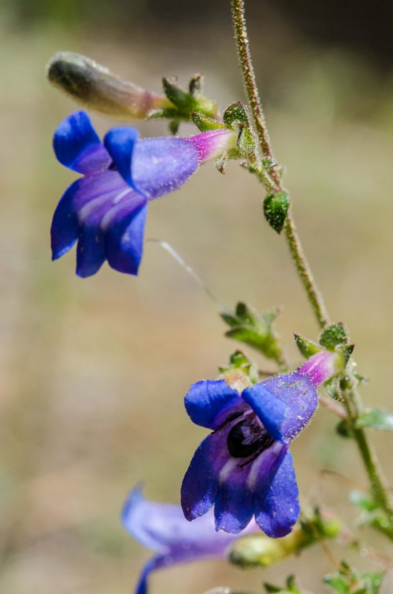Mountain blue penstemon, Penstemon laetus