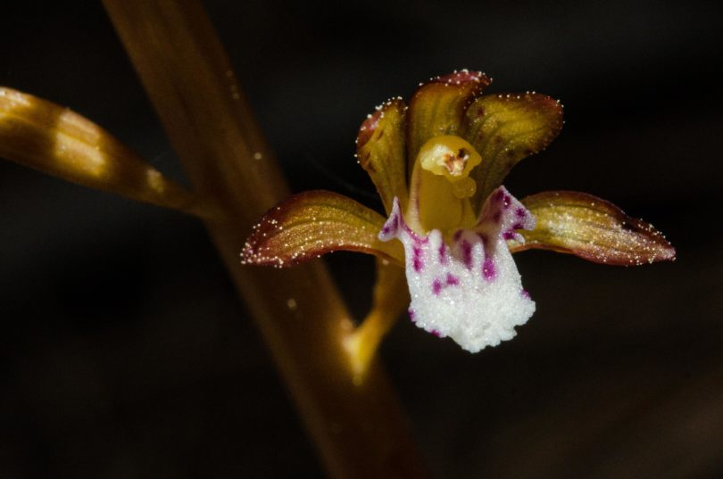 Spotted coralroot, Corallorhiza maculata