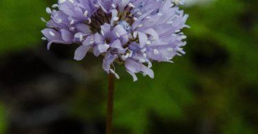 Globe gilia, aka Blue field gilia, Gilia capitata