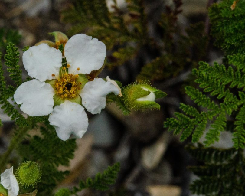 Sierran mountain misery, Chamaebatia foliolosa