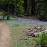 Masses of lupine along the Caples Creek trail