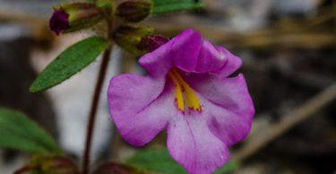 Torrey's monkeyflower, Mimulus torreyi