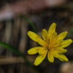 Mountain dandelion, Agoseris heterophylla